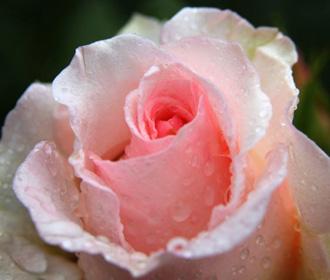 Róża - symbol piękna