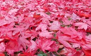 Czerwony dywan z liści