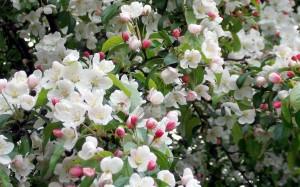 Tak wyglądają jabłka wczesną wiosną