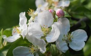 Bądą jabłka z rajskiego ogrodu.