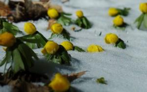 Czy naprawdę pierwsze kwitną przebiśniegi?