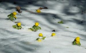 Ranniki przebijające się przez śnieg.