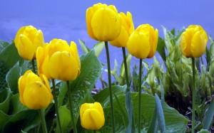 Wiosenne tulipany w parku w Kopenhadze