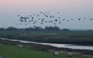 Przelot ptaków na południu Jutlandii