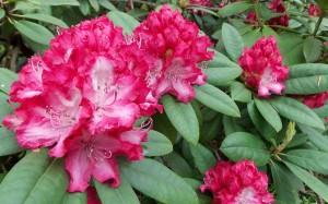 Kwitnący różanecznik