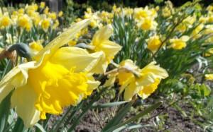 Żonkile kwitną tylko wiosną